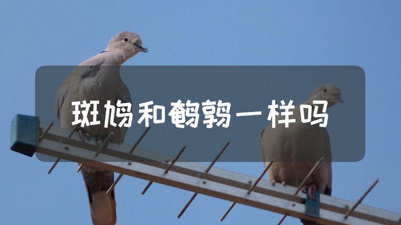 斑鸠和鹌鹑一样吗