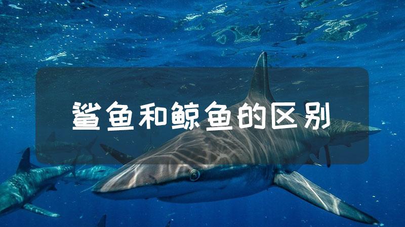 鲨鱼和鲸鱼的区别
