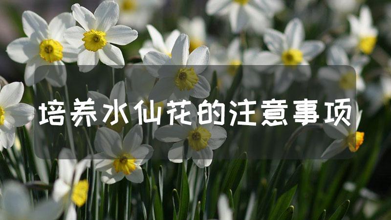 培养水仙花的注意事项