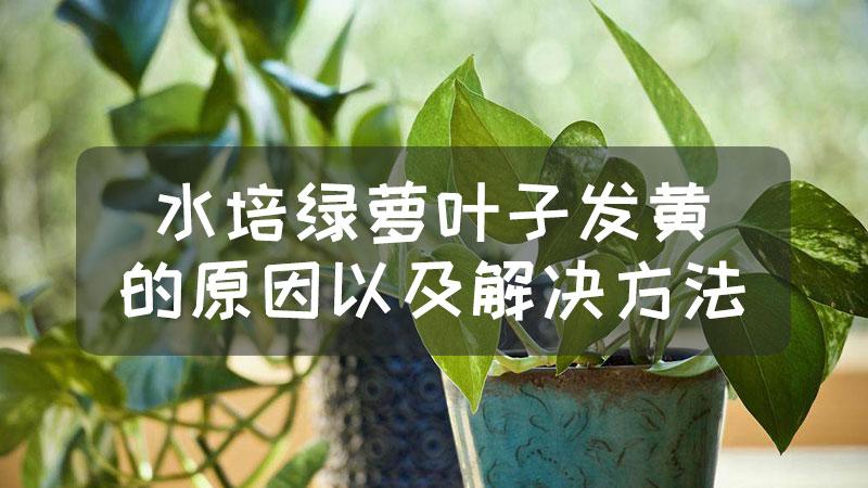 水培绿萝叶子发黄的原因以及解决方法