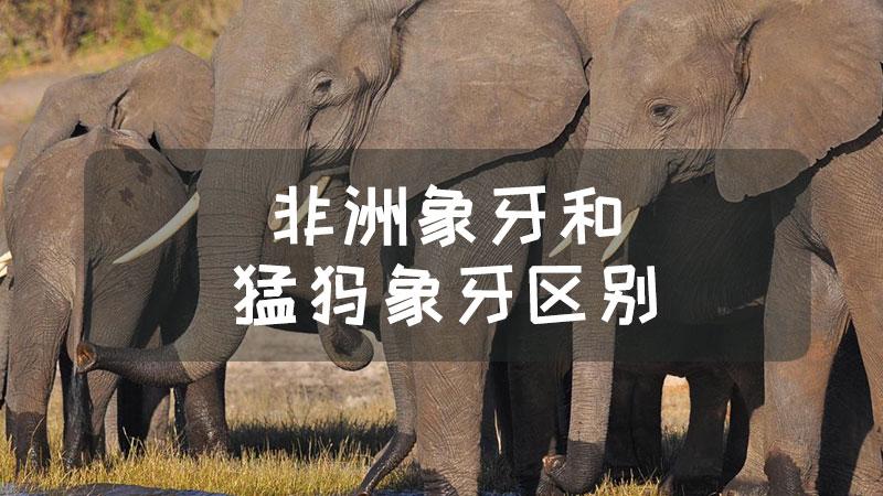 非洲象牙和猛犸象牙区别