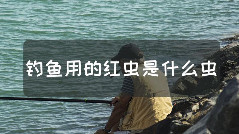 钓鱼用的红虫是什么虫